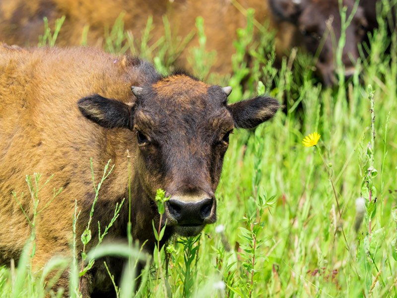 the face of a Bison calf