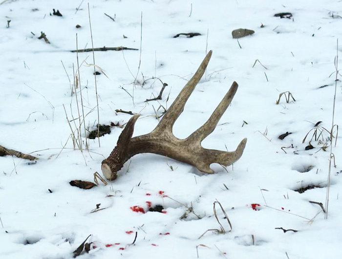 An antler in the snow, with blood speckling around them.