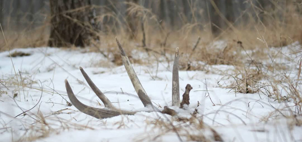 Antlers protruding from snow alongside dead grass.