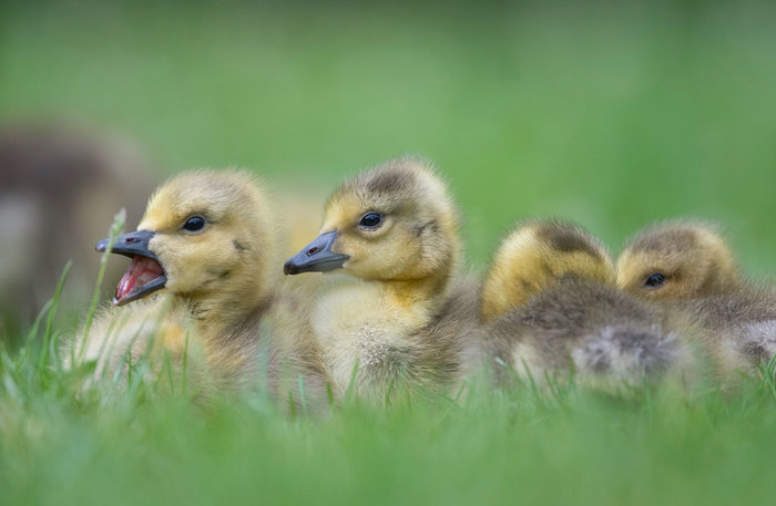 Four goslings nestled together.