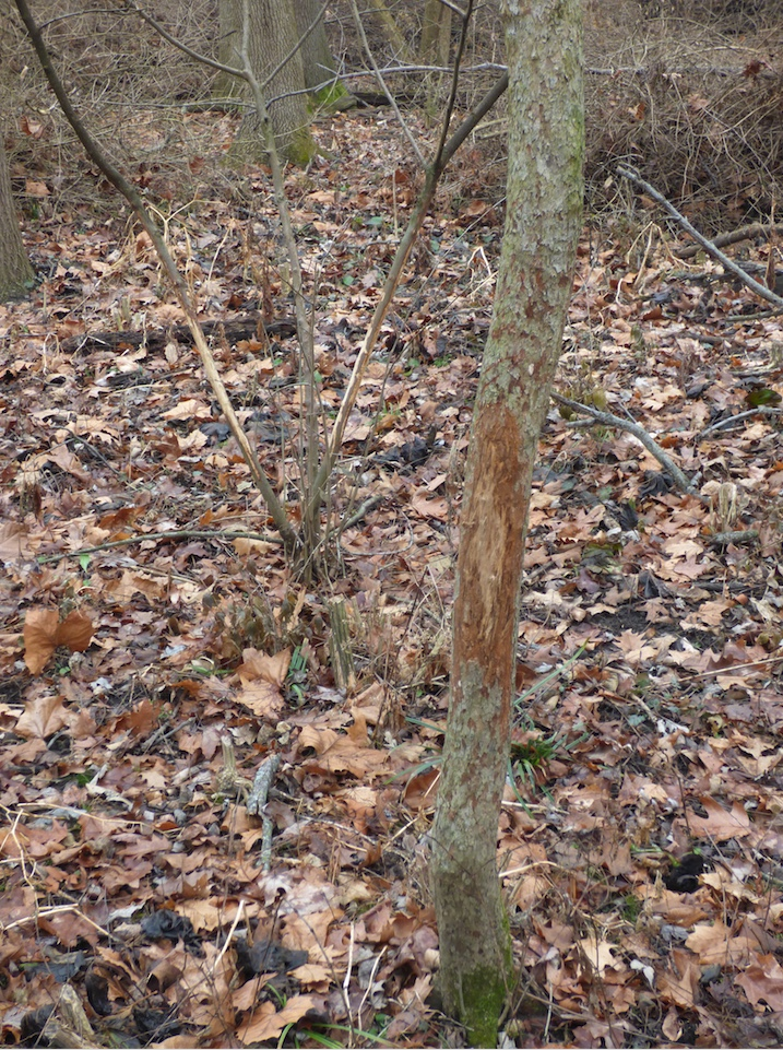 Deer will often rub their antlers on trees which can shred the bark.