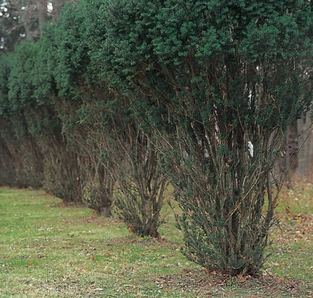 These row of yew bushes have been severely browsed by deer. The browse line is about four feet from the ground. The yews are undamaged above the reach of the deer.