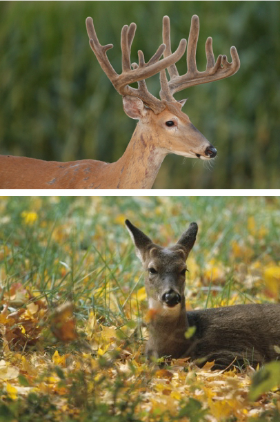 Two photos of deer. The top photo is of a male deer's antlers which are still covered in velvet. The bottom image is of a male fawn that has two protrusions called buttons on its head where its antlers will grow.