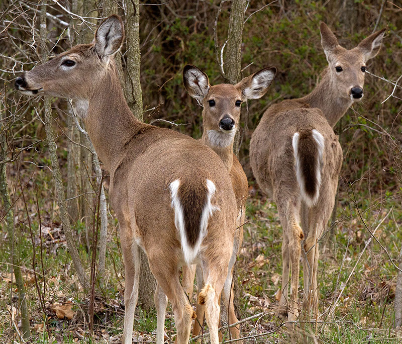 Three white-tailed deer with trees in the background.