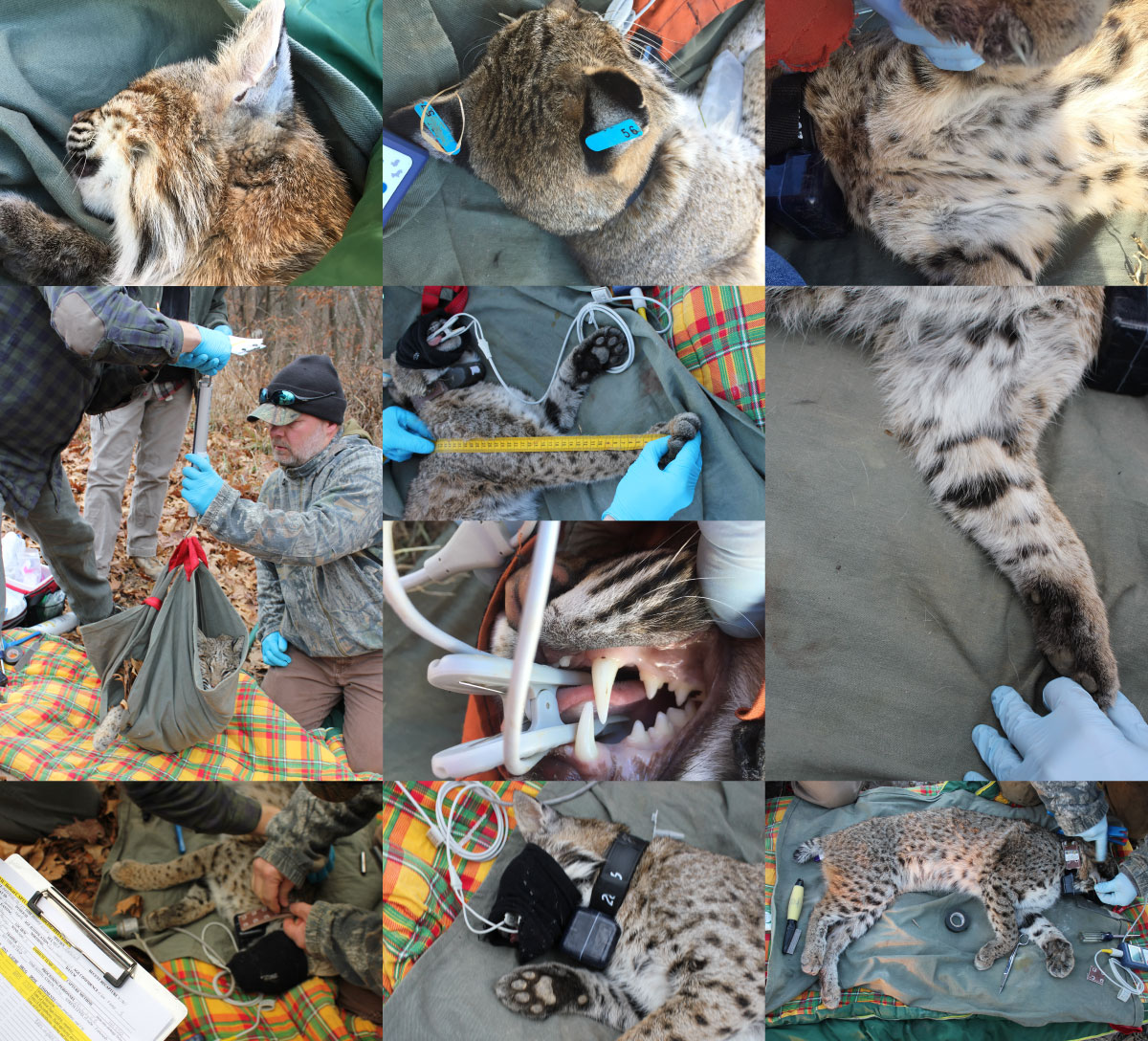 researching working on bobcats