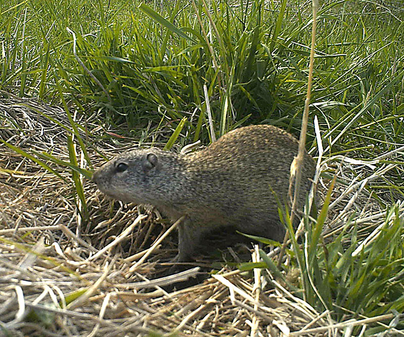 Ground squirrel surrounded by grass.