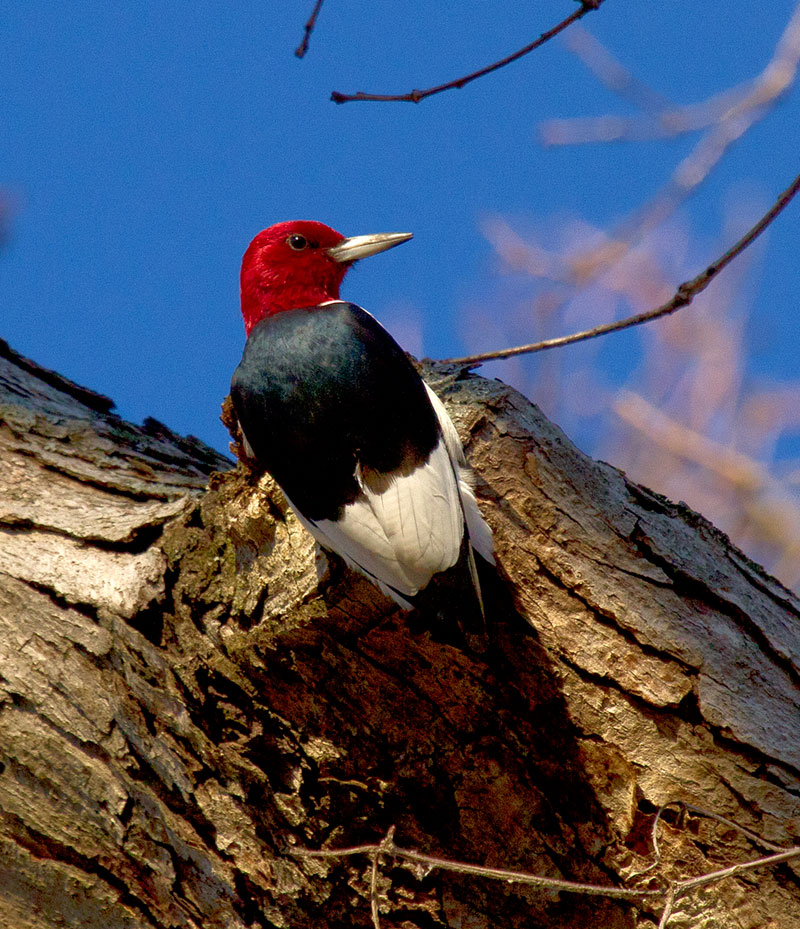 Red-headed woodpecker perched on a tree trunk
