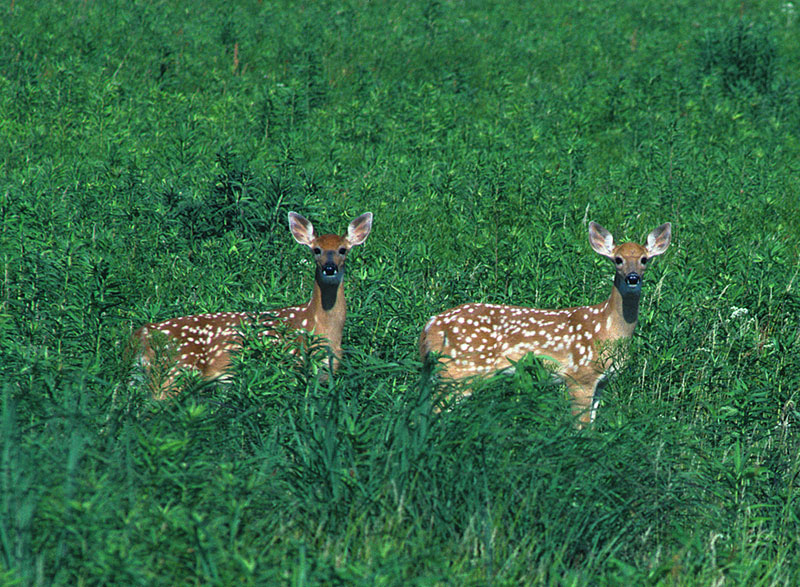 Two spotted fawns surrounded by a grassland.