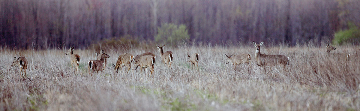 A herd of deer in a prairie with a woodland in the background.