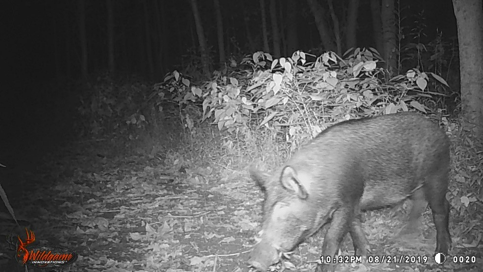 A black and white photo of a feral hog caught on a trail camera.