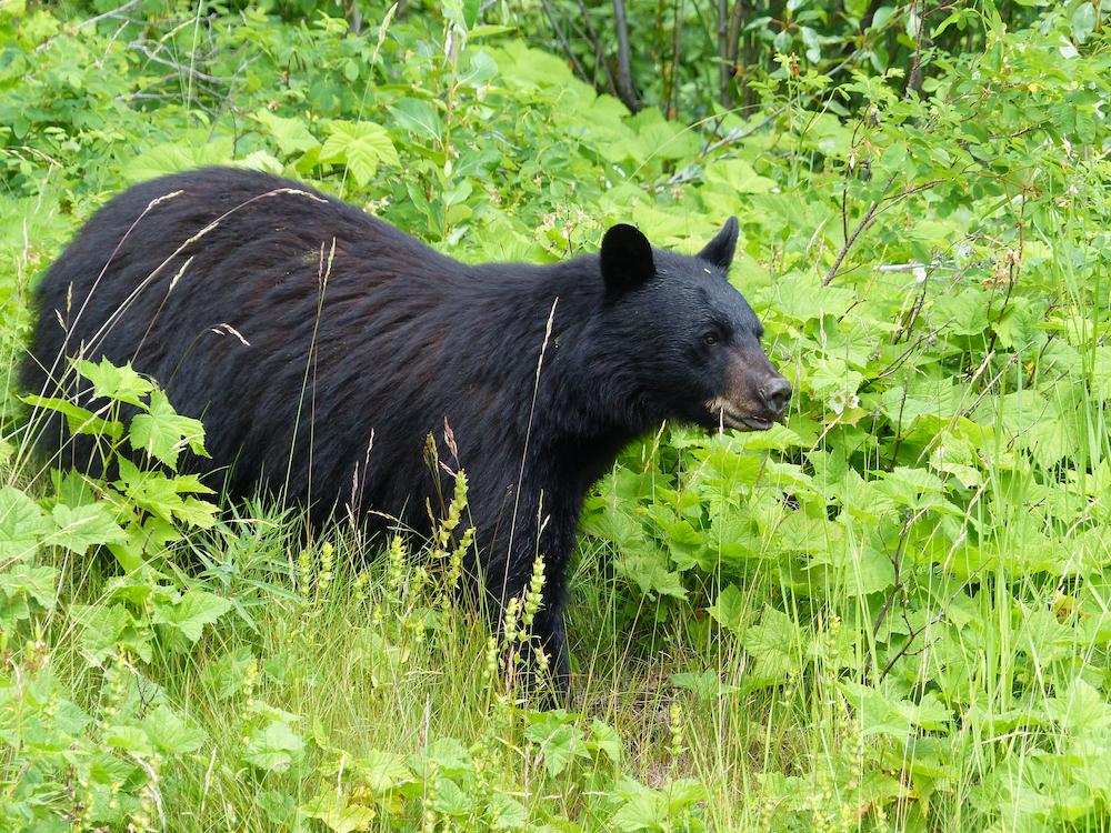 A black bear walking through a brushy meadow in springtime.