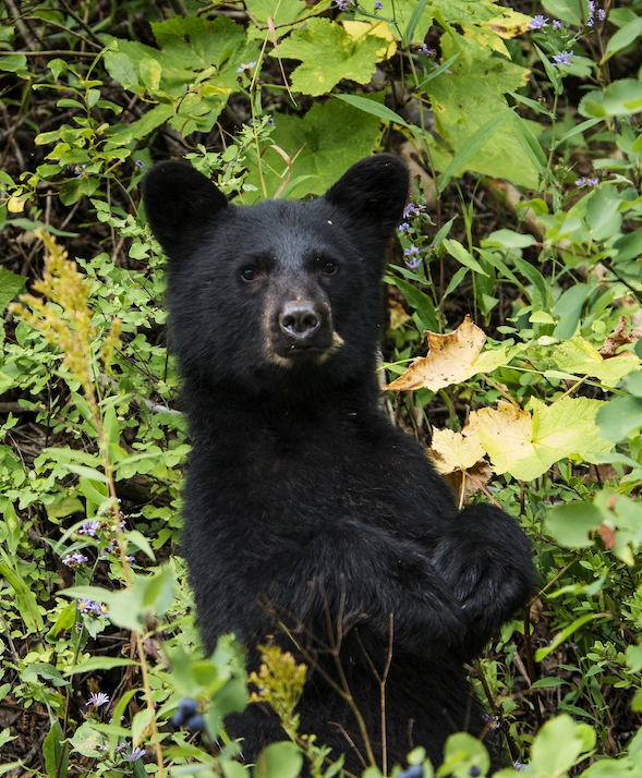 A young black bear standing on its hind legs while peering through some bushes.