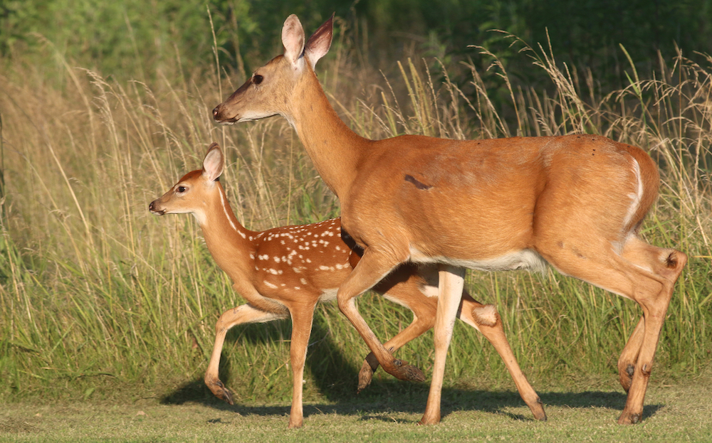 A doe white-tailed deer with her fawn walking across a grassy area.