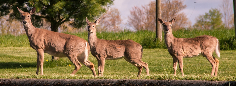 Three doe white-tailed deer next to a curb.