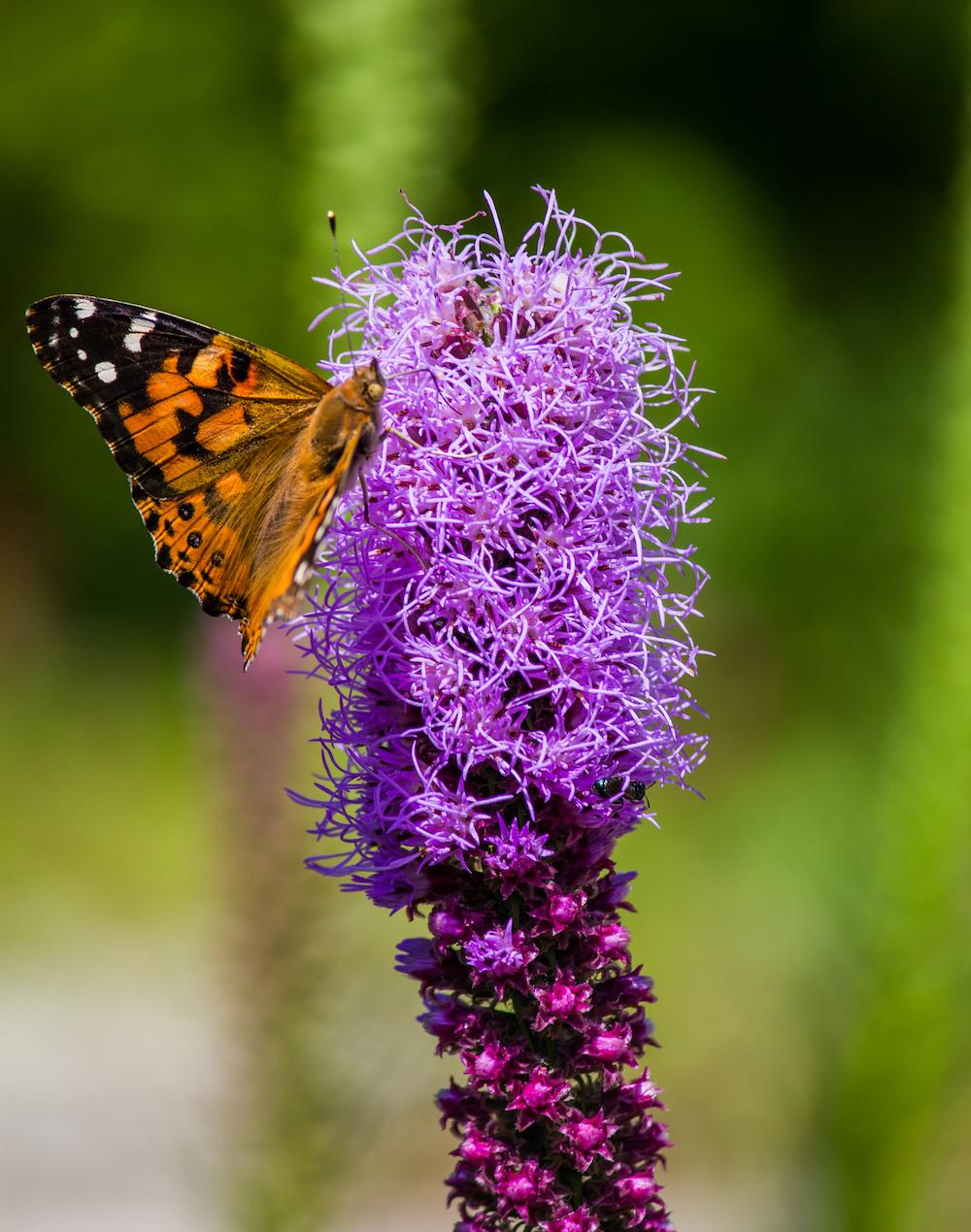 A butterfly feeding on a purple prairie flower.