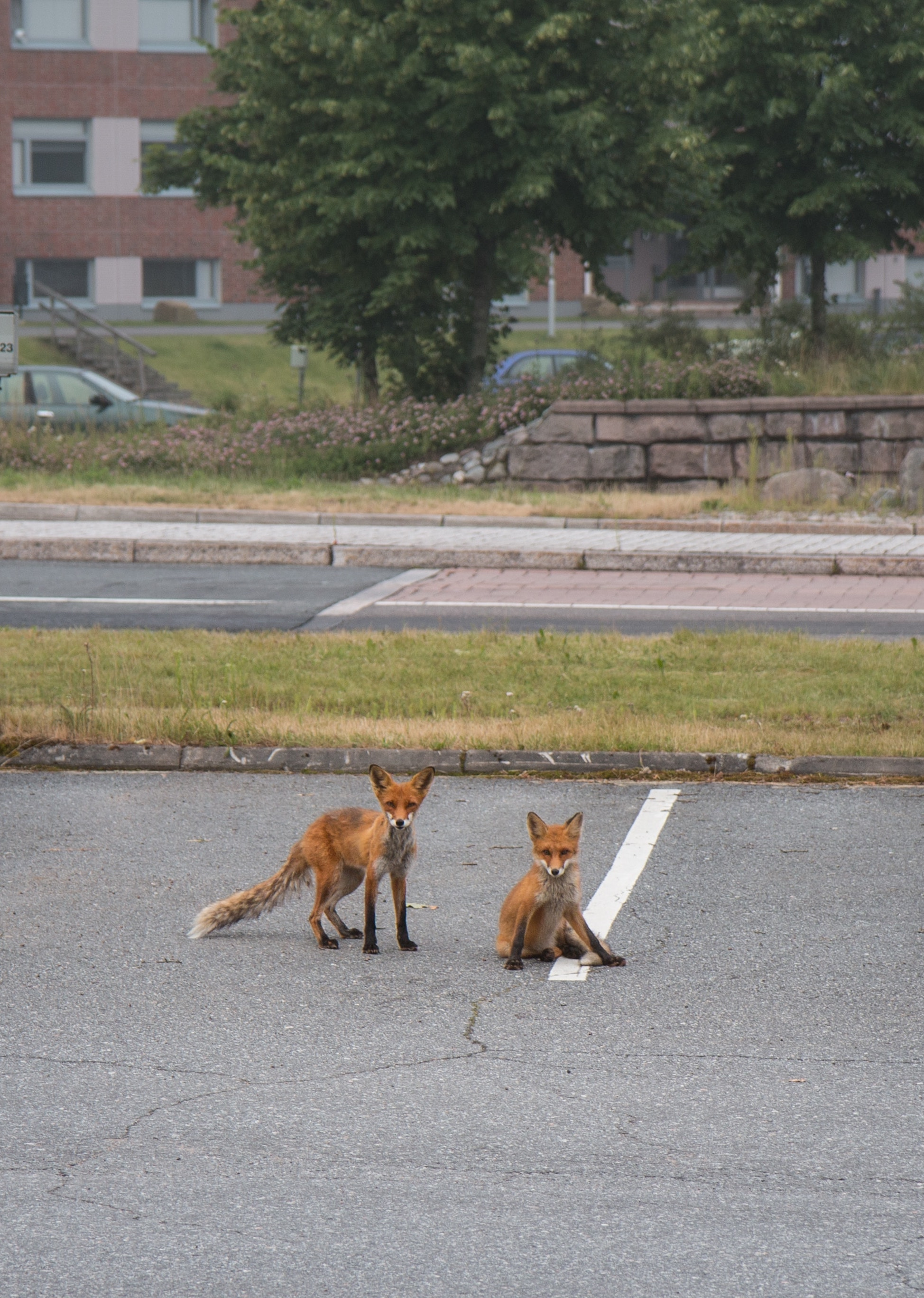 Two red foxes in a parking lot with a building in the background.