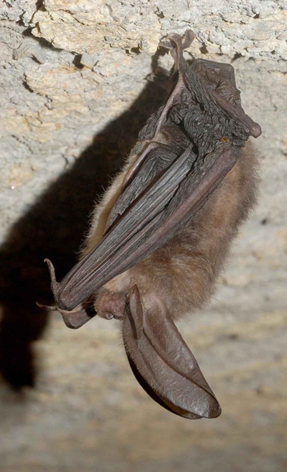 A small brown bat with large ears hanging from the stone ceiling of a cave.