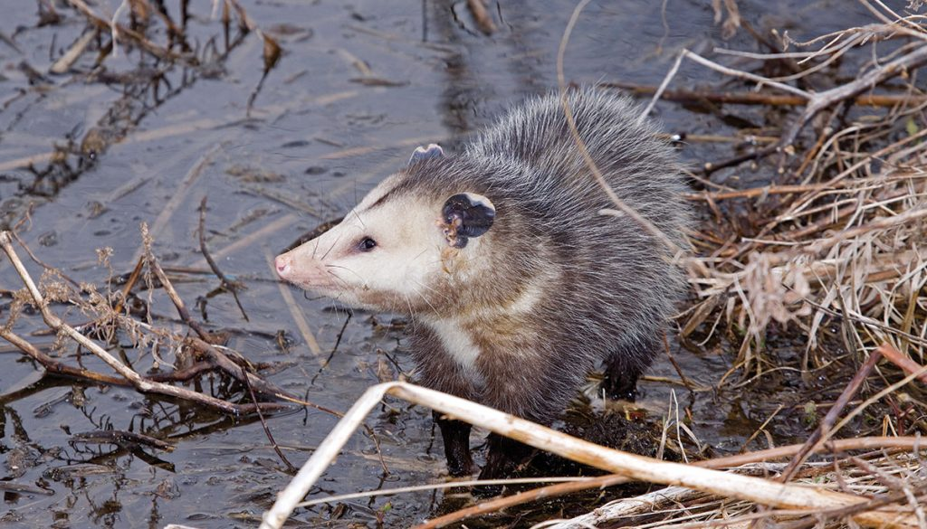 A gray opossum at a water's edge.