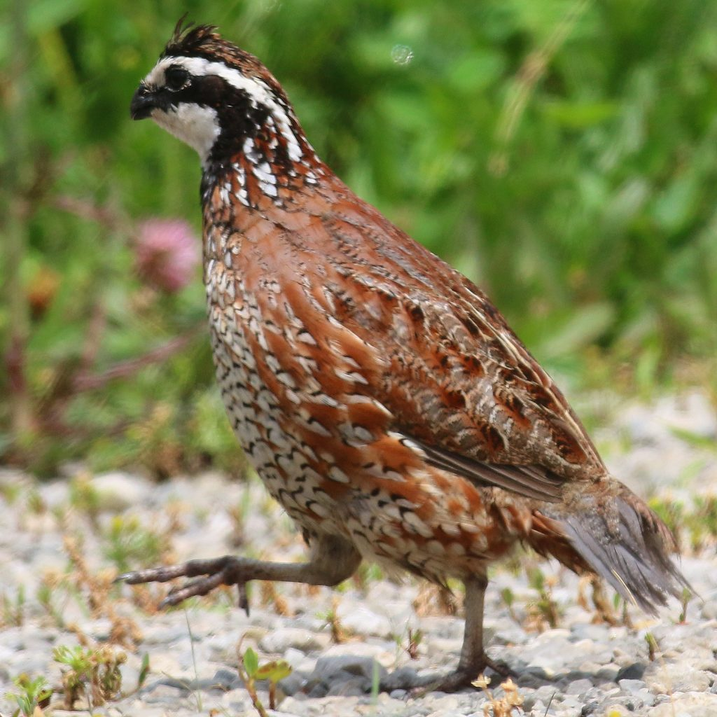 A male bobwhite quail walking on white gravel with grasses in the background.