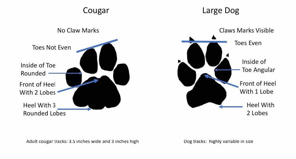 An illustration indicating the differences between a cougar track and a dog track.