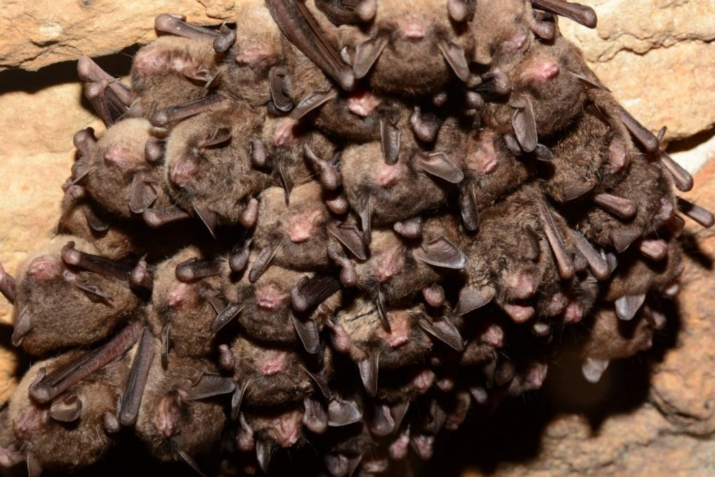 A cluster of bats roosting in a cave.