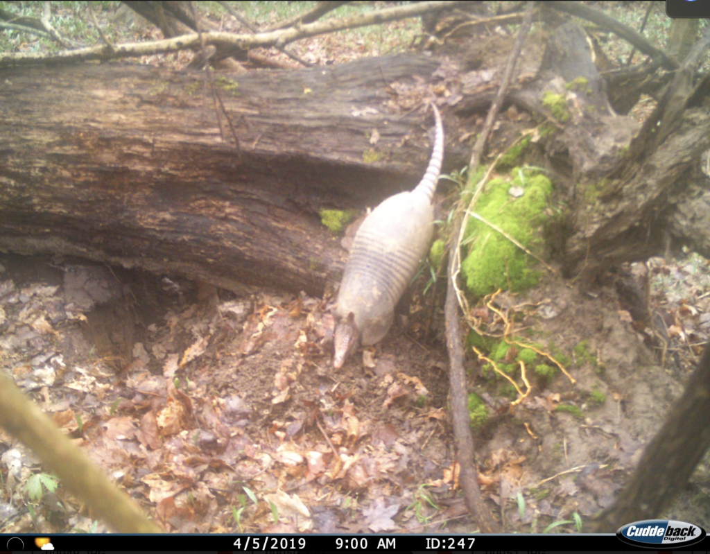 An image of an armadillo stepping down from a fallen log in a forest.