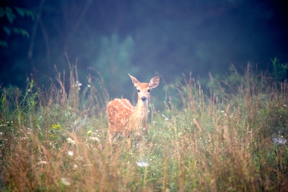 A fawn deer surrounded by grasses.