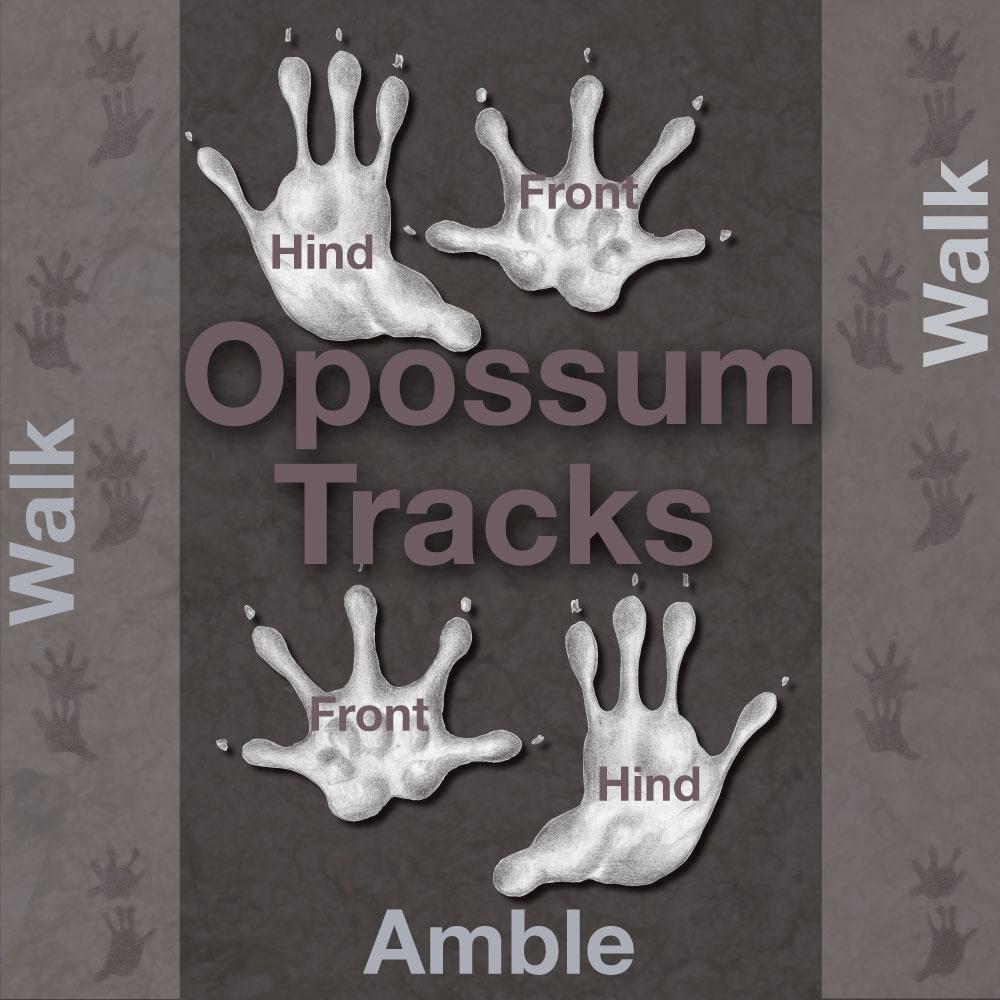 An Illustration depicting opossum's hand-like footprints.