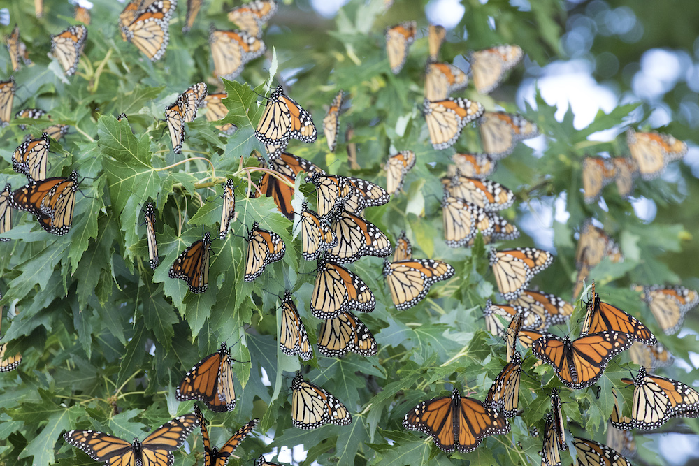 Orange and black monarchs, too numerous to count, are nestled amongst the green lobed leaves of an oak tree.