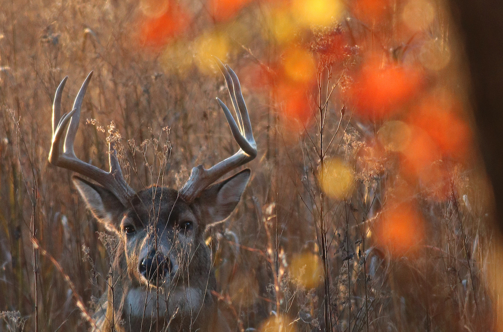 A male white-tail deer with large antlers stands in a grassy field with orange autumn leaves in the foreground.