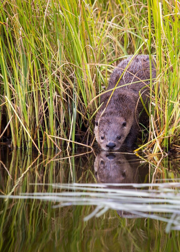 A dark brown river otter stands on the river bank surrounded by grasses with its nose and muzzle close to the surface of water.