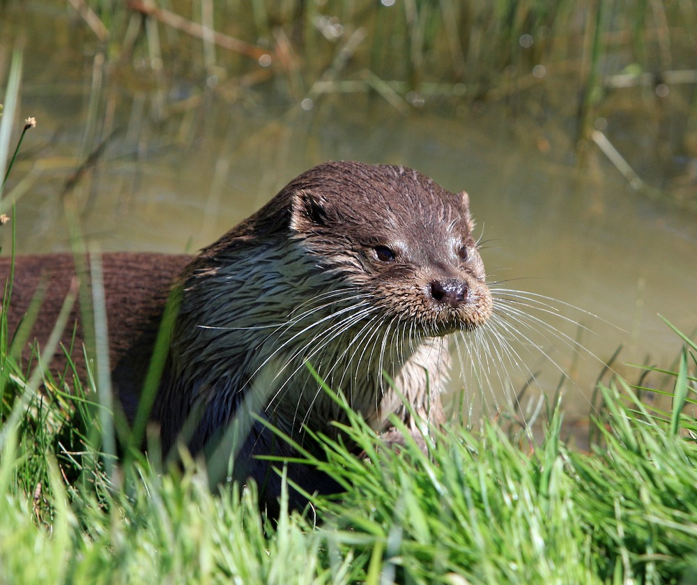 A close-up image  of a river otter's face. In the background is murky water and wetland plants.
