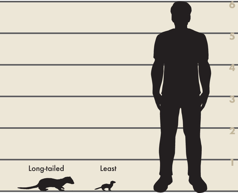 An illustration of a silhouette of a six foot tall man next to the silhouette of a long-tailed weasel and the least weasel. The long-tailed weasel is about a half foot tall. The least weasel is less than a half foot tall.