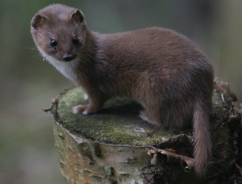 A small dark brown weasel standing on a stump.