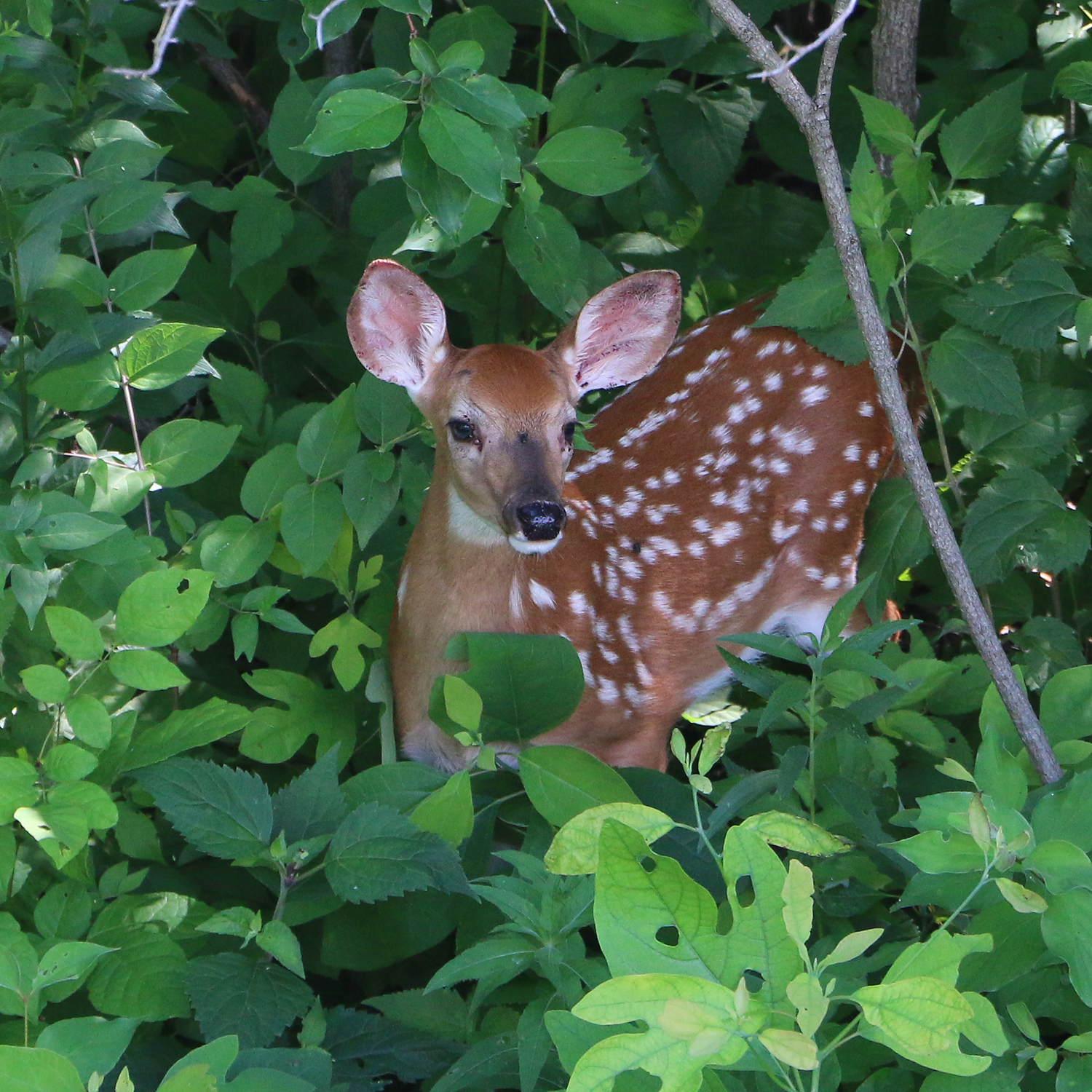A fawn with reddish, tan fur with white spots hides amongst green, leafy vegetation.