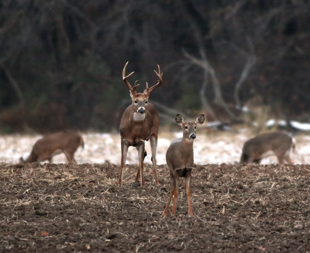 A group of white-tailed deer in an agricultural field during winter. One adult male deer with large antlers looks toward a female deer facing the foreground.