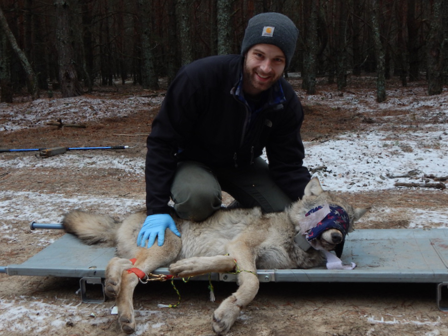 A biologist kneels by a blindfolded wolf laying on a stretcher on the ground. Trees are in the background, and snow is on the ground.