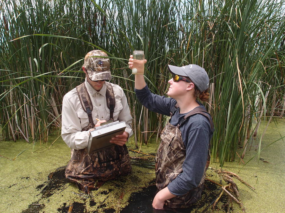 Two biologists wade in a wetland. One holds up a jar with water in it and an egg sits at the bottom. The biologist gazes up at the jar to determine the level of the egg in the water which will help determine the age of the egg. Tall, green, cattail leaves are in the background.
