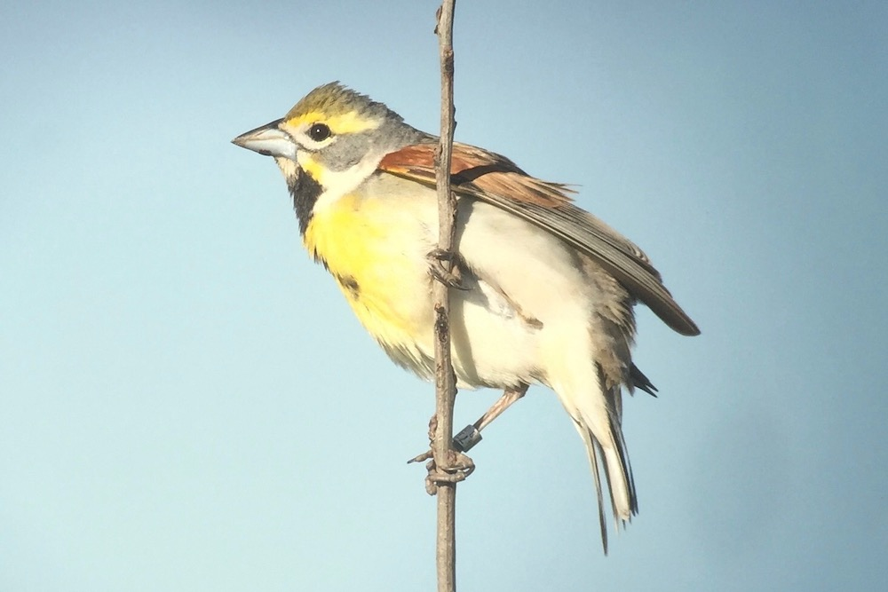 A songbird perches on a tan stalk. The bird has a dark black bib on its yellow breast. The rest of the bird is gray, brown, and light tan. The blue sky is in the background.