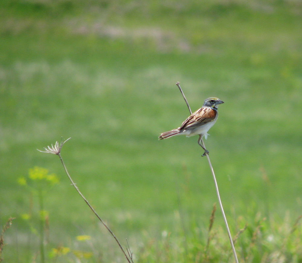 A brown, gray, and white songbird perches on a tan plant stalk in a grassland.
