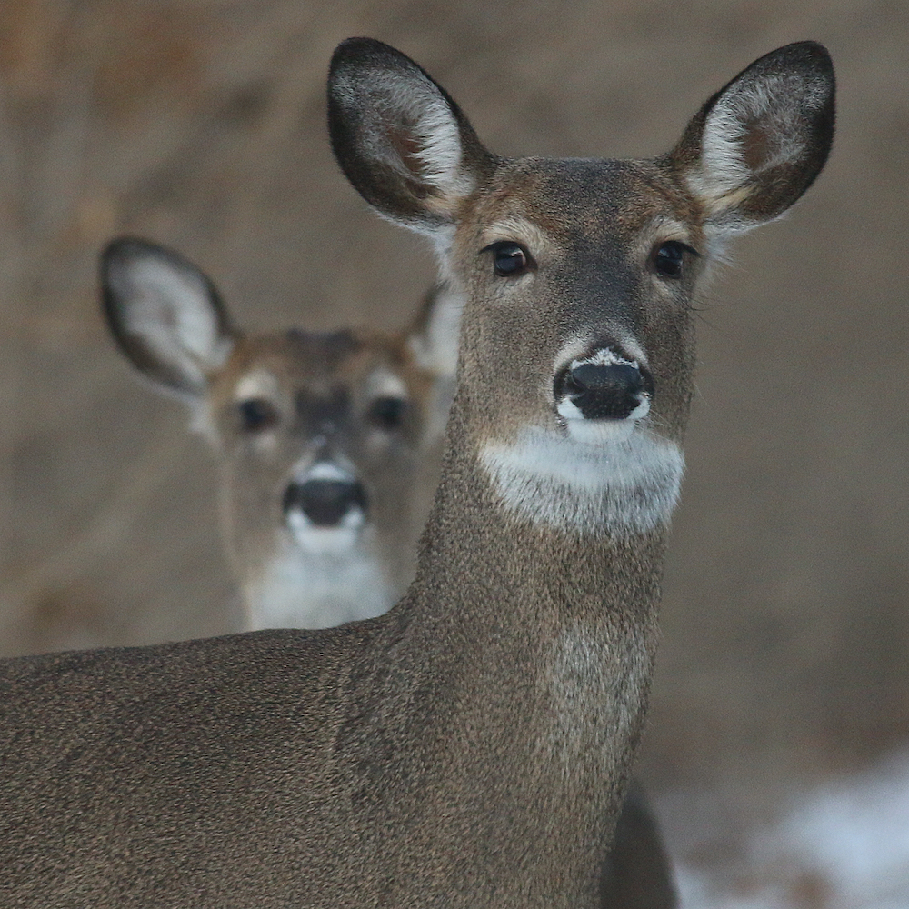 A close-up photo of two deer facing forward with their ears up and alert. A snowy woodland is in the background.