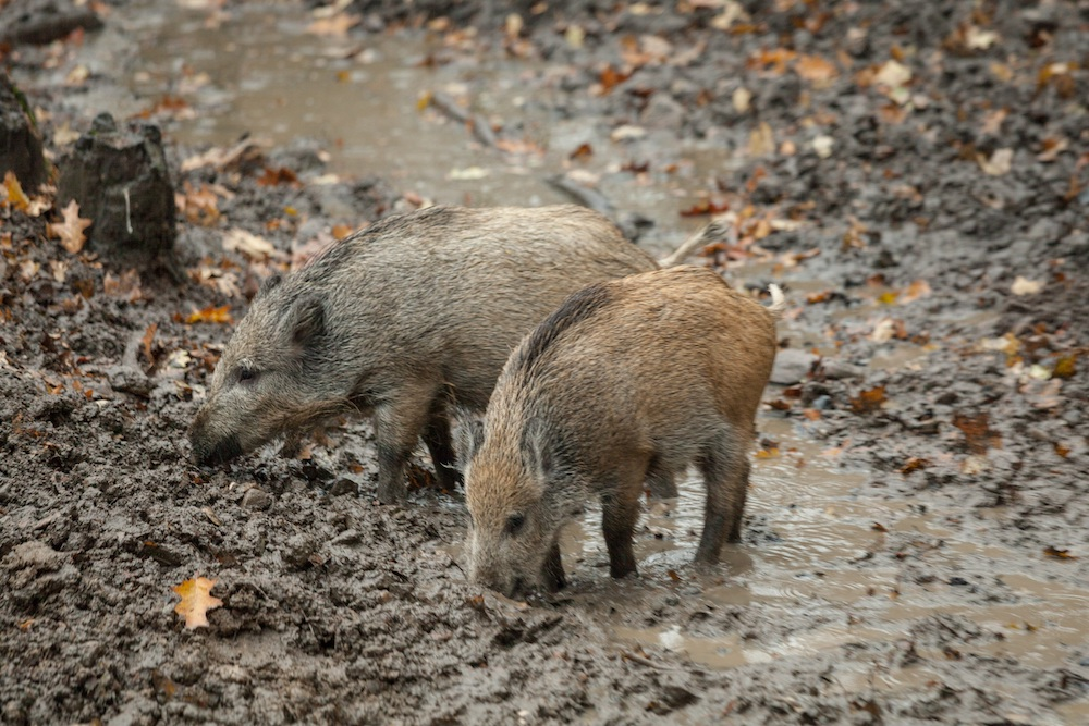 Two tan and brown feral swine rooting in the mud.