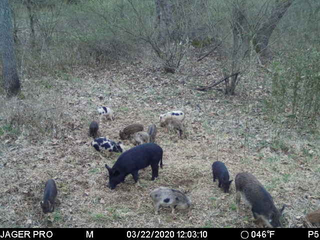 A group of feral hogs, adults and juveniles, rooting in a brushy area.