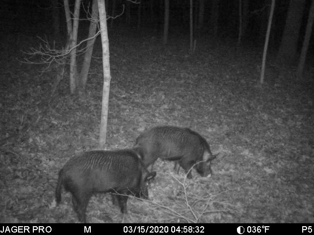 A black and white photo of two wild hogs foraging in a woodland at night.