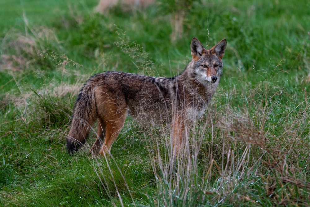 A brown and tan coyote stands alert in a grassland. Green tall grass is in the background.