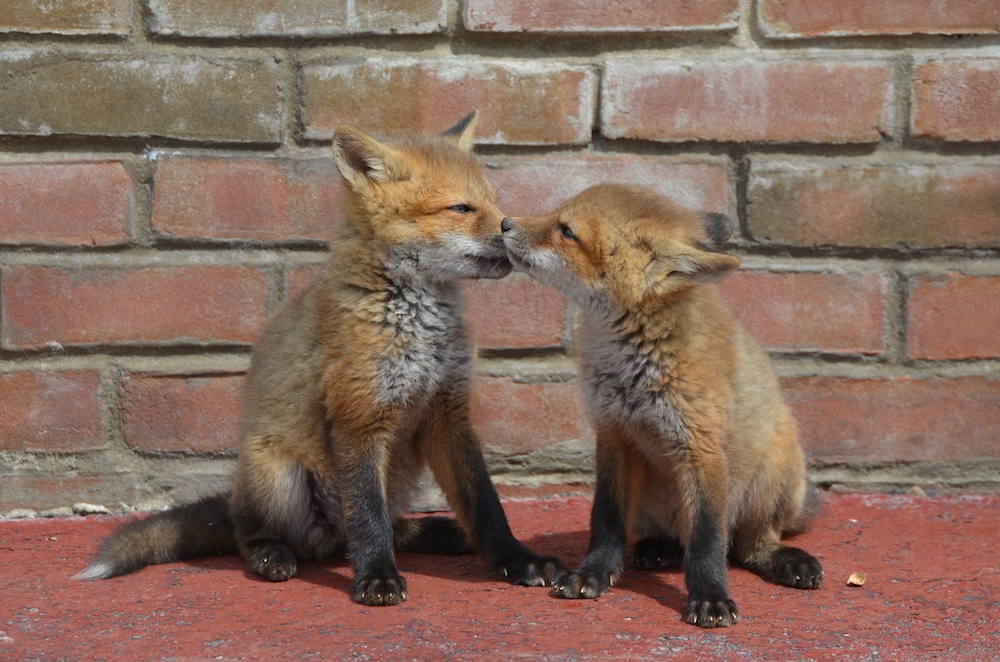 Two young red fox kits play next to reddish brown brick wall.