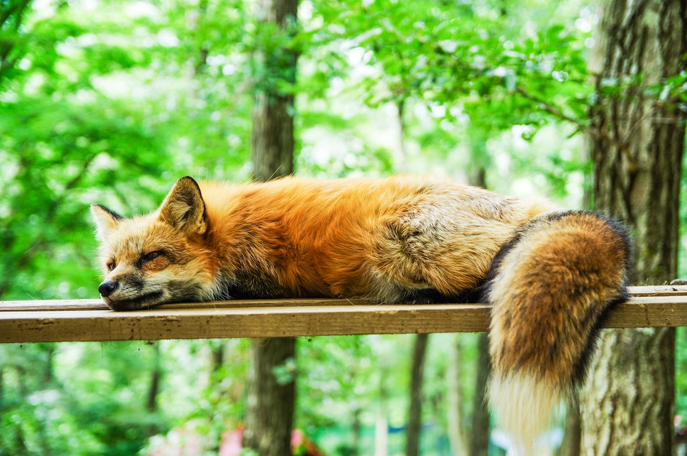 A red fox lounges on a porch railing. In the background is a forest.