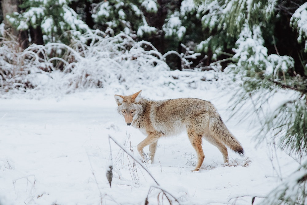 A brown and tan coyote in a snowy landscape walks through a grove of pine trees.