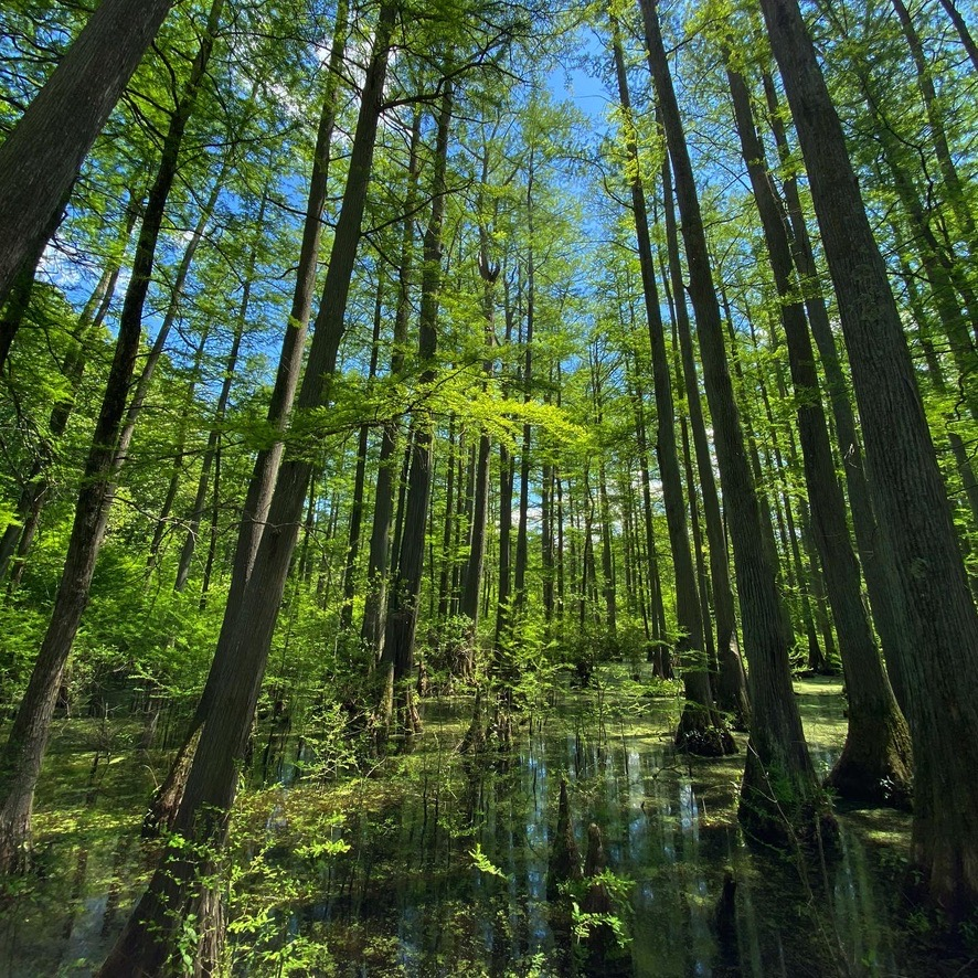 A lush woodland swampy area with cypress trees. A blue sky can be seen  through the canopy.