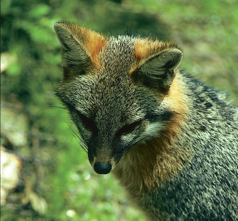 A fox mostly gray and a little reddish around the ears and face is looking down. Green grass is in the background.